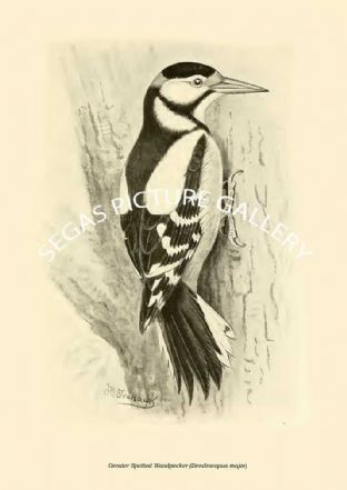 Greater Spotted Woodpecker (Dendrocopus major)